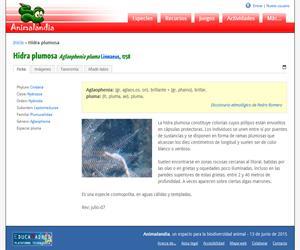 Hidra plumosa (Aglaophenia pluma )