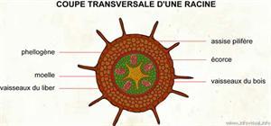 Coupe transversale d'une racine (Dictionnaire Visuel)