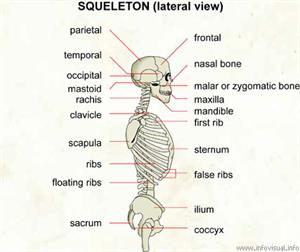 Skeleton (lateral view)  (Visual Dictionary)