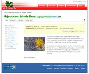 Abeja excavadora de bandas blancas (Amegilla quadrifasciata)