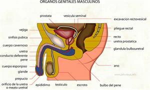 Organos genitales masculinos (Diccionario visual)