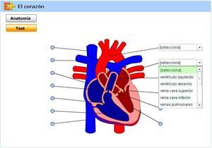 Partes del corazón, infografía y test interactivo (educaplus.org)