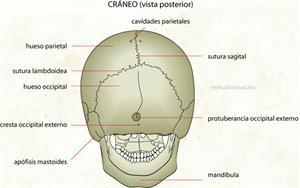 Cráneo (vista posterior) (Diccionario visual)