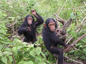 Bonobos, chimpancés y seres humanos. Gooru