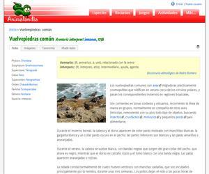 Vuelvepiedras común (Arenaria interpres )