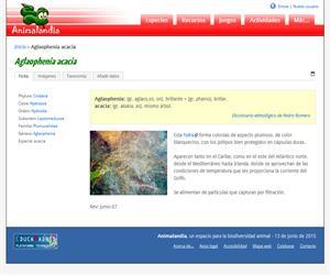 Aglaophenia acacia (Aglaophenia acacia)