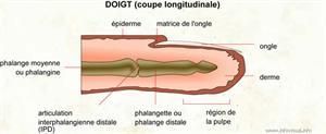 Doigt (coupe longitudinale) (Dictionnaire Visuel)