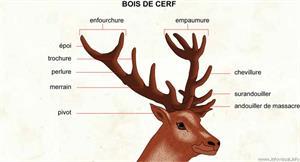 Bois de cerf (Dictionnaire Visuel)