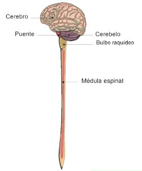 Sistema Nervioso Central Primaria Juego Del Sistema