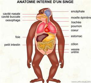 Anatomie interne d'un singe (Dictionnaire Visuel)