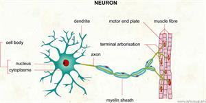 Neuron  (Visual Dictionary)