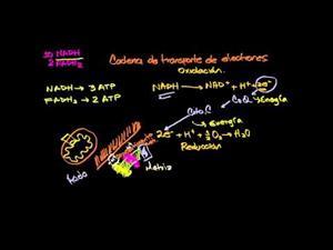 Cadena de transporte de electrones (Khan Academy Español)