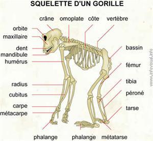 Squelette d'un gorille (Dictionnaire Visuel)