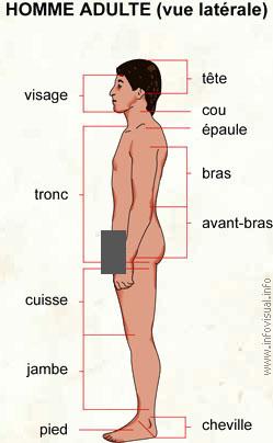 Homme adulte (vue latérale) (Dictionnaire Visuel)