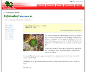 Scolymia cubensis (Scolymia cubensis)