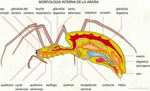 Morfologia interna de la araña (Diccionario visual)