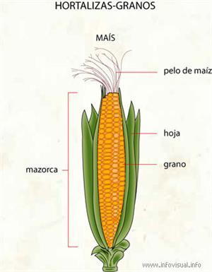 Hortalizas-granos (Diccionario visual)