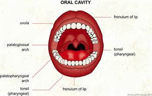 Oral cavity  (Visual Dictionary)