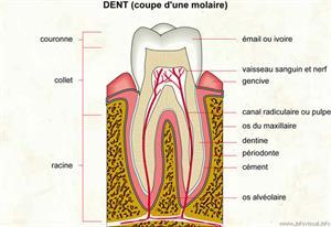 Dent (Dictionnaire Visuel)
