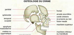 Ostéologie du crâne (Dictionnaire Visuel)