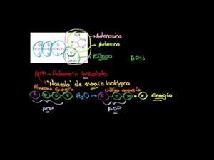 Adenosin trifosfato (Khan Academy Español)