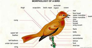 Bird  (Visual Dictionary)