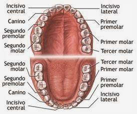 Partes de la dentadura humana