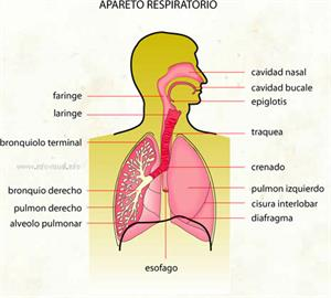 Aparato respiratorio (Diccionario visual)