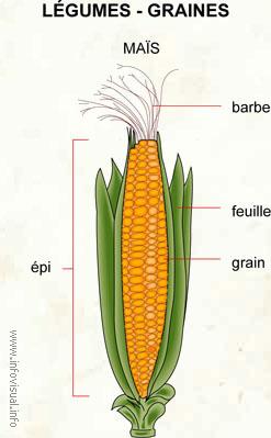 Légumes - graines (Dictionnaire Visuel)