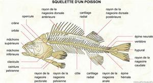 Squelette d'un poisson (Dictionnaire Visuel)
