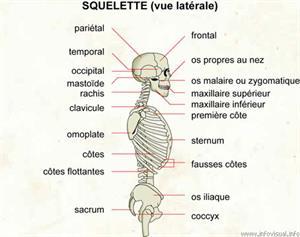 Squelette (vue latérale) (Dictionnaire Visuel)