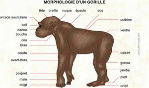 Gorille (Dictionnaire Visuel)