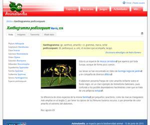 Xanthogramma pedissequum (Xanthogramma pedissequum)