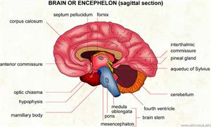 Encephelon  (Visual Dictionary)