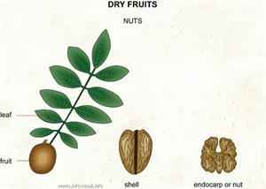 Nuts  (Visual Dictionary)