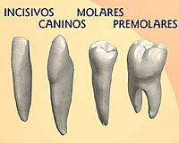 Los dientes, un artículo de Puleva Salud