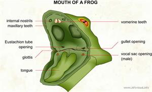 Mouth of a frog  (Visual Dictionary)