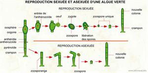 Reproduction sexuée et asexuée d'une algue verte (Dictionnaire Visuel)