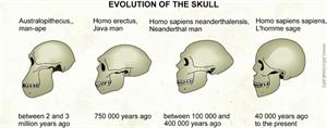 Evolution of the skull  (Visual Dictionary)