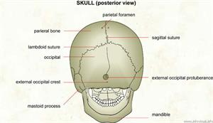 Skull (posterior view)  (Visual Dictionary)
