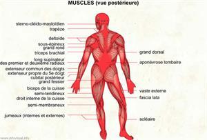 Muscle (Dictionnaire Visuel)