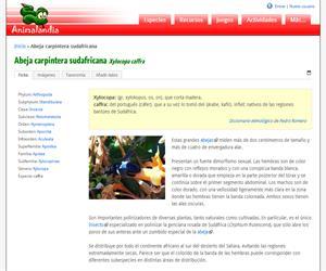 Abeja carpintera sudafricana (Xylocopa caffra)