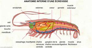 Anatomie interne d'une écrevisse (Dictionnaire Visuel)