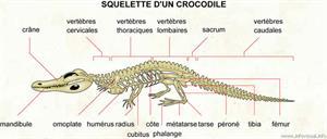 Squelette d'un crocodile (Dictionnaire Visuel)