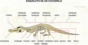 Cocodrilo (Diccionario visual)