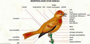 Oiseau (Dictionnaire Visuel)