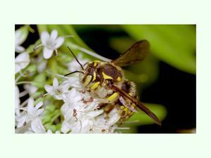 Abeja campestre punteada (Anthidium punctatum)