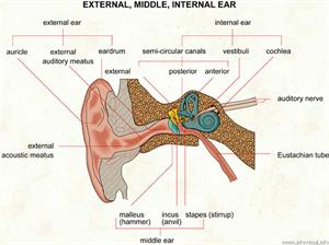 Ear  (Visual Dictionary)