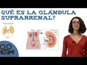 Qué es la glándula suprarrenal