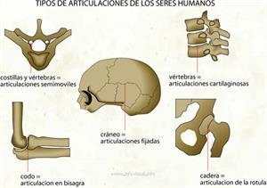 Tipos de articulaciones (Diccionario visual)
